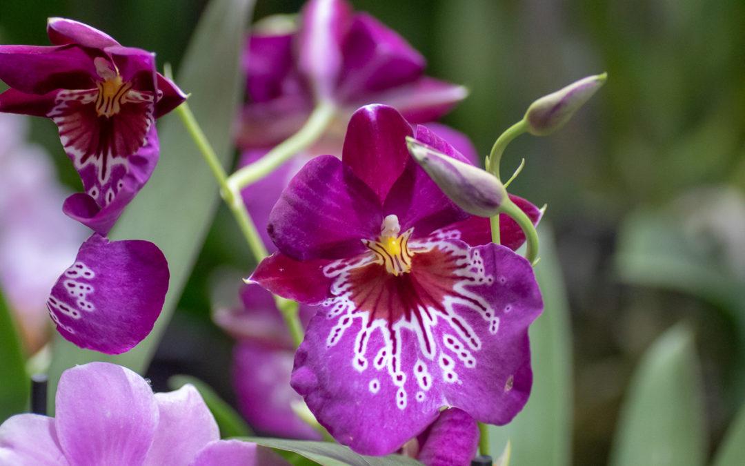 Exposition d'orchidées à l'abbaye de Vaucelles (59) 17mars2019